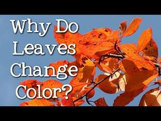 Happy first day of fall to those on the Northern Hemisphere! Find out why and what makes the leaves change color in this short and sweet education video by Free School. Green Leaves, Autumn Leaves, Fall Video, Leaves Changing Color, Seasons Of The Year, Educational Videos, Autumn Theme, Color Change, Shit Happens