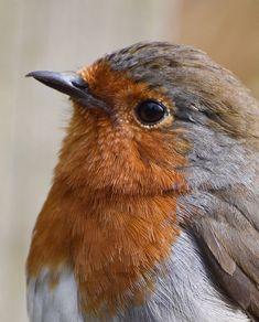 Red Robin, Robin Bird, Red Breasted Bird, Dickie Bird, European Robin, Beautiful Owl, Cute Birds, Fish Art, Bird Watching