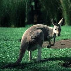 Kangaroo, Western Gray at Cleveland Zoo Cleveland, OH #Kids #Events