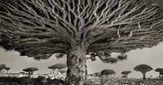 Ancient Trees: Woman Spends 14 Years Photographing World's Oldest Trees | Bored…