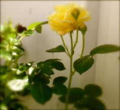 yellow rose, means friendship.