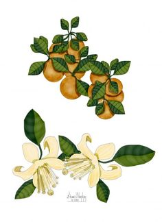 Oranges and Orange Blossoms Painting  - Oranges and Orange Blossoms Fine Art Print