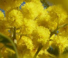 Coldiretti: 8 marzo con meno mimose. Le manifestazioni in Abruzzo | L'Abruzzo è servito | Quotidiano di ricette e notizie d'Abruzzo