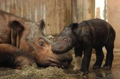 Whilst many people associate rhinos with the savannahs of Africa, it is interesting to note that according to current taxonomy three of the five known species of rhinoceros actually live in Asia. The Sumatran rhino is the smallest of all living rhinoceros, it is named for the Indonesian island of Sumatra, which is at the centre point of it's predominantly island based range. Historically, the Sumatran Rhino was a widespread species throughout much of Southern South-East Asia, but due to…