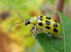 Yellow ladybug? - Diabrotica undecimpunctata