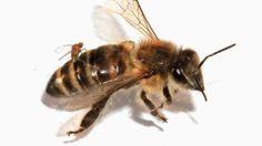 ¿Qué mosca le ha picado a las abejas de EE.UU.?: Un parásito las convierte en 'zombi' – RT