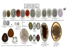 Alpaca Parasite Images and Treatment Protocols