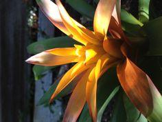 Bromeliad amarilla