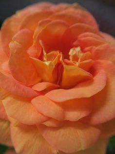 My beautiful appricot scented rose-Marianne Baan-2015