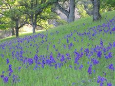 California Wildflowers, California Native Plants, Spring Wildflowers, Simply Beautiful, Beautiful Places, Wildwood Flower, Birth Flowers, All Things Purple, Walking In Nature