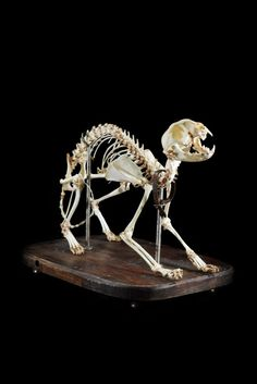 Dog skeleton: oddities