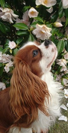 Are you looking for the best Cavalier King Charles Spaniel dog names? Are you looking for the best Cavalier King Charles Spaniel dog names? Related posts:Australian Shepherd Puppies: Pictures And FactsAustralian Shepherd Hunderasse Informationen,. Super Cute Puppies, Baby Animals Super Cute, Cute Baby Dogs, Cute Little Puppies, Cute Dogs And Puppies, Cute Little Animals, Doggies, Puppies Puppies, Adorable Dogs