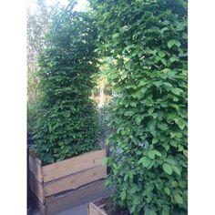 Граб обыкновенный Carpinus betulus ARCA Flora, Garden, Plants, Garten, Gardens, Planters, Tuin, Plant, Planting