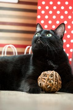 Portrait of a black cat pet lying near the red shopping paper ba by Kirill Kedrinski Photo by hasloo on Fivehundredpx