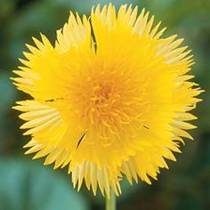 Cornflower 'Dairy Maid' (scented)