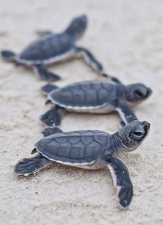 baby sea turtles / by Christian Miller baby turtles are my favourite :)) Marinha Wallpaper, Cute Baby Animals, Animals And Pets, Nature Animals, Beautiful Creatures, Animals Beautiful, Beautiful Fish, Beautiful Things, Baby Sea Turtles