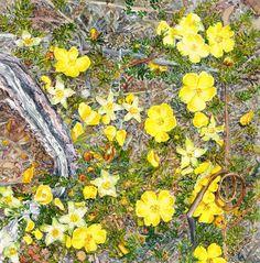 Golden guinea flower on forest floor. Hibbertia procumbens. Watercolour. Melhillswildart.