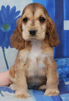 English Cocker Spaniel Pup ~ Classic Look & Trim