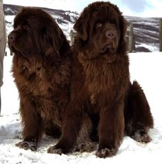 NEWFOUNDLANDS!! I promise! One day I will have one of these bad boys! Hopefully sooner  than later