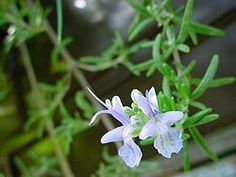 Growing Rosemary: How To Grow Rosemary In Your Edible Landscaping Patchouli Oil, Patchouli Essential Oil, 100 Pure Essential Oils, Rosemary Flower, Grow Rosemary, Cheveux Ternes, All Flowers, Edible Flowers, Organic Farming