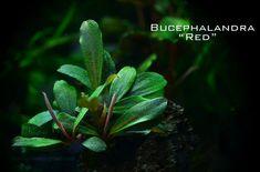 Bucephalandra Motoleyana Red , rare plants from Borneo