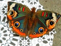 20 Beautiful Butterflies and Marvelous Moths - meowlogy Beautiful Bugs, Beautiful Butterflies, Amazing Nature, Cool Insects, Bugs And Insects, Butterfly Pictures, Butterfly Wings, Beautiful Creatures, Animals Beautiful