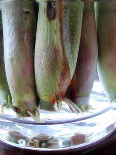 How to Propagate Lemongrass