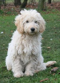Dog And Puppies Small Goldendoodles lyse og gyldne - Specialdogs.Dog And Puppies Small Goldendoodles lyse og gyldne - Specialdogs Baby Puppies, Baby Dogs, Dogs And Puppies, Doggies, Animals And Pets, Baby Animals, Cute Animals, I Love Dogs, Cute Dogs