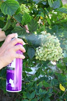 How to dry hydrangea blooms with hairspray Peonies And Hydrangeas, Hydrangea Care, Hydrangea Not Blooming, Hydrangea Flower, How To Dry Hydrangeas, Flower Pots, Drying Hydrangeas, Flower Ideas, Hydrangea Arrangements