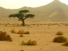 Old Acacia tree in the Red sea mountains (during a sandstorm) - Egypt Nile River, Photo Tree, Red Sea, Acacia, Oasis, Egypt, Country Roads, Trees, Mountains