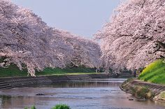 #japan #cherryblossoms #chubu #gifu 新境川堤