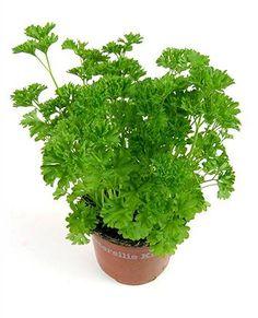Peterselie heeft vele positieve eigenschappen. Zo zijn de wortels, zaden en bladeren vochtafdrijvend. Peterselie:verlicht reumatiek en bevordert de spijsvertering. Kompressen van het blad verzachten snijwonden en verstuikingen.