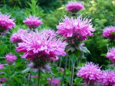 Image from https://gardencoachpictures.files.wordpress.com/2011/09/monarda-bee-balm.jpg.