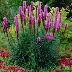 Liatris spicata also known as Blazing Star is a beautiful purple perennial. Its grass like foliage and tall blooming spikes attract butterflies, birds and bees. Liatris is a great cut flower and is deer resistant. Plant with Bee Balm and Black Eyed Susan Purple Perennials, Flowers Perennials, Planting Flowers, Full Sun Perennials, Purple Perrenial Flowers, Tall Perennial Flowers, Herbaceous Perennials, Flowers Garden, Cut Flowers