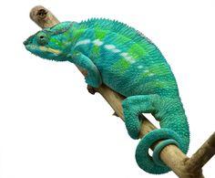 Panther Chameleon - Furcifer Pardalis - Nosy Be Locale - Male  Nosy Be Panther Chameleon breeder here at Canvas Chameleons named Rouge