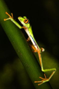 lift Costa Rica, Red Eyed Tree Frog, Outside World, Tree Frogs, Cool Photos, Nature Photography, February 19, Spiders, Animals