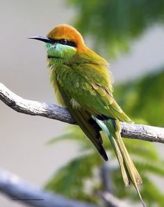 The Green Bee Eater bird (Merops orientalis) (sometimes Little Green Bee-eater)