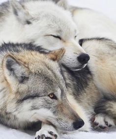 🐺If you Love Wolves, You Must Check The Link In Our Bio 🔥 Exclusive Wolf Related Products on Sale for a Limited Time Only! Tag a Wolf Lover! 📷: Please DM . No copyright infringement intended. All credit to the creators. Animals And Pets, Baby Animals, Funny Animals, Cute Animals, Wild Animals, Wolf Photos, Wolf Pictures, Wolf Love, Beautiful Creatures