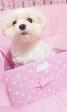 adorable maltese puppy in pink box Little Puppies, Cute Puppies, Cute Dogs, Dogs And Puppies, I Love Dogs, Puppy Love, Tumblr Soft, Maltese Dogs, Chihuahua