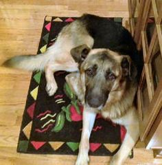 HERCULES is an adoptable German Shepherd Dog Dog in Sterling, VA. Hercules is a gorgeous black and tan GSD - He is a very big boy and is SO sweet. No one told him that he had to keep his ears pointed ...