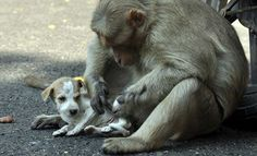 monkey-adopts-puppy-erode-india-11 The monkey mom took care of the puppy as if it were her own