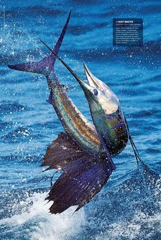 Capt. Chris Sheeder of Casa Vieja Lodge in Guatemala continues to dazzle us with shots of billfish caught from Rum Line, the boat he skipper...