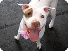 Pit Bull Terrier Mix Dog for adoption in New York, New York - Michelle