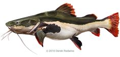 Catfish redtail (pirarara) Phractocephalus hemioliopterus