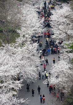 Photos : Cerisiers en fleurs dans l'est de la Chine — Chine Informations  Chine  Capitole-Aktuell Daily Infos @Osvaldo_Villar @Magisterwines