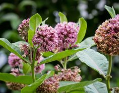 Plant of the Week: Common milkweed | The High Line Blog
