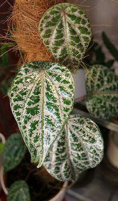 Piper crocatum (syn. Piper ornatum)