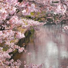Reflections in pink, flores rosas Beautiful World, Beautiful Gardens, Beautiful Flowers, Beautiful Pictures, Beautiful Things, Pretty In Pink, Tattoo Feminin, Blossom Trees, Cherry Blossoms