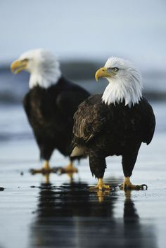 artflakes: A pair of American bald eagles stand on the shoreline.