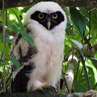 species-Pulsatrix-perspicillata-6 Spectacled owl